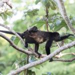 Howler monkeys, Finca Malinche, Laguna de Apoyo, Nicaragua