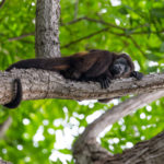 Howler monkeys at Finca Malinche